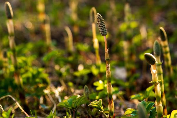 Equisetum palustre o cola de caballo